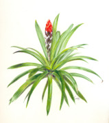 Epiphyte Metal Prints - West Indian Tufted Air Plant Metal Print by Penrith Goff