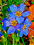 Flax Digital Art Prints - Western Blue Flax in Skagway AK Print by Ruth Hager