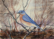Bluebird Painting Metal Prints - Western Bluebird Metal Print by Sam Sidders
