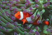 Hiding Metal Prints - Western Clown Anemonefish Metal Print by Georgette Douwma