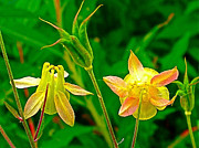 Montana Digital Art - Western Columbine on Highline Trail in Glacier NP by Ruth Hager