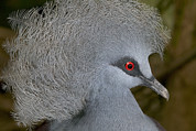 Crowned Head Posters - Western Crowned-pigeon Goura Cristata Poster by Cyril Ruoso