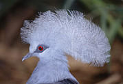 Crowned Head Posters - Western Crowned Pigeon Poster by Peter Chadwick