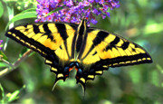 Tiger Swallowtail Prints - Western Gardens Print by Laura Mountainspring