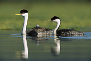 Three-quarter Length Framed Prints - Western Grebe Couple With One Parent Framed Print by Tim Fitzharris
