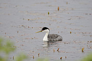 Walden Pond Photo Posters - Western Grebe Poster by Lora Ballweber