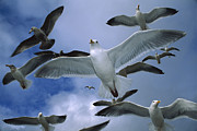 Flying Seagull Prints - Western Gull Larus Occidentalis Flock Print by Michael Durham/ Minden Pictures