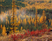 Fall Photos Framed Prints - Western Larch Forest Autumn Framed Print by Leland Howard