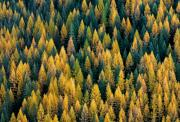 Mountains Posters - Western Larch forest Poster by Leland Howard
