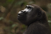 Central African Republic Photos - Western Lowland Gorilla Sub-adult Female Portrait by Anup Shah