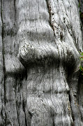 Bark Design Photos - Western Red Cedar - Thuja plicata - Olympic National Park WA by Christine Till