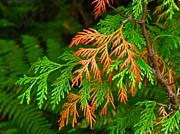 Washington - Western red cedar by Sean Griffin