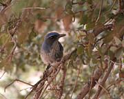 Chris Hill - Western Scrub Jay