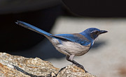 Wildlive Prints - Western Scrub Jay Print by Gregory Scott