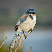 Jake Johnson - Western Scrub Jay