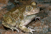 Californian Framed Prints - Western Spadefoot Framed Print by Dante Fenolio