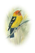 Tanager Originals - Western Tanager by Elise Boam