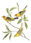 Audubon Prints - Western Tanager Print by John James Audubon