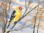 Feather Painting Acrylic Prints - Western Tanager Acrylic Print by Sam Sidders