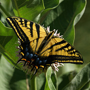 Swallowtail Butterflies Posters - Western Tiger Swallowtail 2 Poster by Ernie Echols