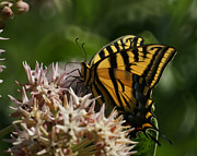 Swallowtail Butterflies Posters - Western Tiger Swallowtail Poster by Ernie Echols