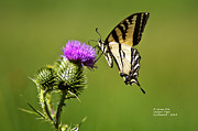 Rateitart Posters - Western Tiger Swallowtail - Milkweed Thistle 2564 Poster by James Ahn