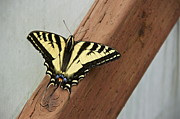 Knothole Prints - Western Tiger Swallowtail Print by Sean Griffin