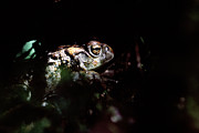 Forest At Night Prints - Western Toad Print by Alan Sirulnikoff