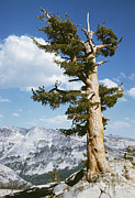 Conifer Tree Prints - Western White Pine Pinus Monticola Print by Nature Source