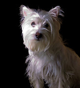 White Terrier Art - Westie Drama by Edward Fielding