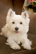 Westie Pup Framed Prints - Westie in armchair Framed Print by Martin  Fry