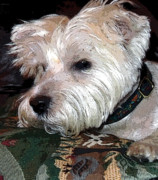 Digital Photography Art Posters - Westie Poster by Mindy Newman