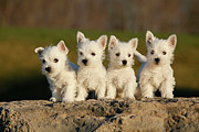 In A Row Metal Prints - Westies On The Rock Metal Print by Celso Mollo Photography