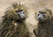 Travel - Tanzania - Wet baboons by Darcy Michaelchuk