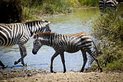 Travel - Tanzania - Wet Baby Zebra by Darcy Michaelchuk