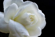 White Roses Originals - Wet Beauty. by Terence Davis