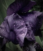 March Photos - Wet Iris Number Three by Chris Berry