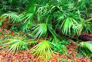 Saw Palmetto Photos - Wet Palmetto by Thomas R Fletcher