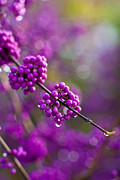 Beauty Photos - Wet Purple 2 by Mike Reid