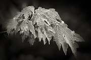 Red Maple Tree Photos - Wet Red Maple by Patrick M Lynch