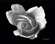 Wet Rose Posters - Wet Rose Portrait Poster by Diane E Berry