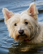 Westie Terrier Photos - Wet Westie by Urban Shootaz