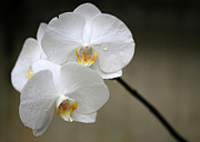 Sabrina L Ryan Metal Prints - Wet White Orchids Metal Print by Sabrina L Ryan