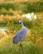 Cranes In Florida Framed Prints - Wetland Splendor Framed Print by Adele Moscaritolo