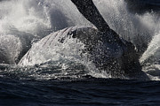 Noel Elliot Prints - Whale Broaching Print by Noel Elliot