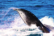Whale Photo Originals - Whale Fluke by Richard Lieberman