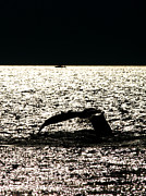 Humpback Digital Art Framed Prints - Whale in sunset Framed Print by Paul Ge