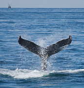 Barnstable Ma Prints - Whale Jumping Print by Joe Grimando