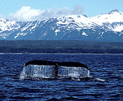 Whale Photo Originals - Whale of a tail by Absolute Photography