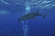 Elasmobranch Prints - Whale Shark And Diver, Maldives Print by Mathieu Meur